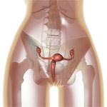 Uterus and cervix